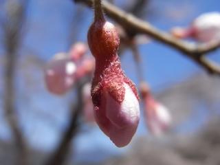 ひょうたん桜(つぼみ)_R.jpg