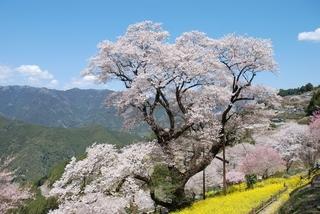 ひょうたん桜1_R.jpg